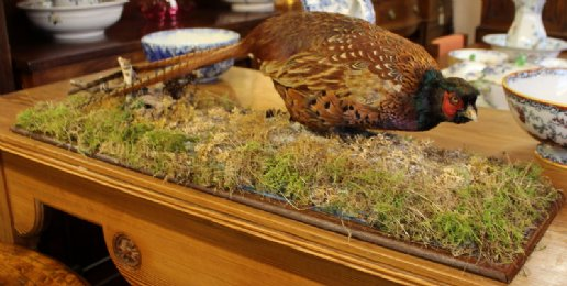 Taxidermy - Pheasant